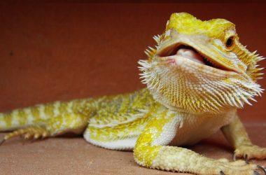 Image of Baby Bearded Dragon