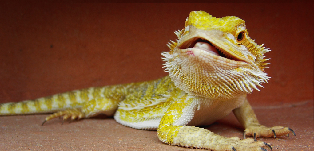 Image of Baby Bearded Dragon