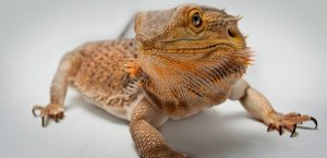 Types of Baby Bearded Dragons