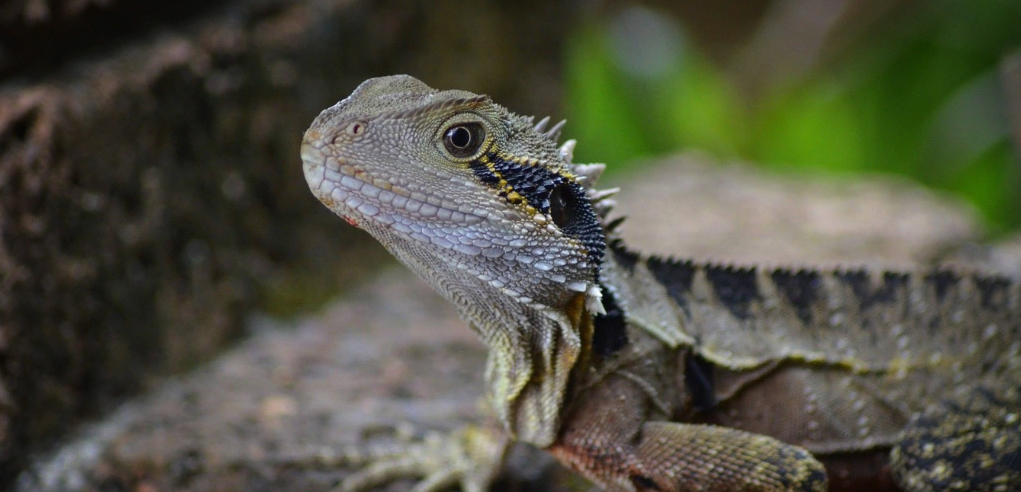 image of brown bearded dragon